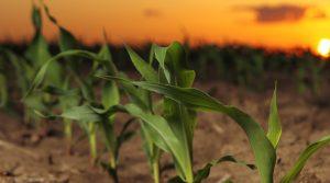 Burrus Corn Products