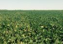 Key Soybean Diseases