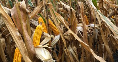 Corn trait selection