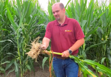 Evaluating Corn Roots