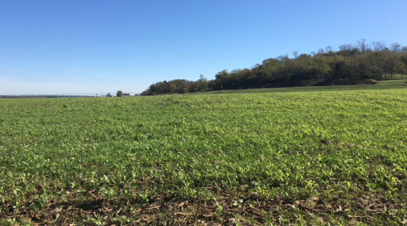 photo of a field of cover crop